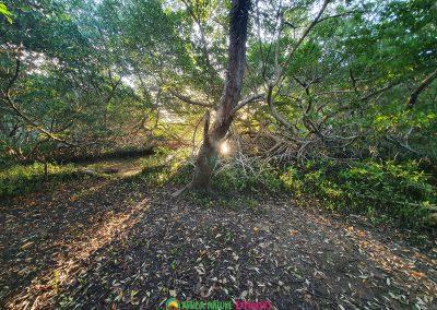 mangroves forest aruba